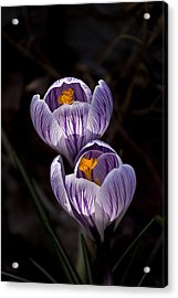 Hocus Crocus Acrylic Print by Shawn Young