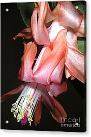 Holiday Cactus - A Full Bloom Acrylic Print by Lucyna A M Green