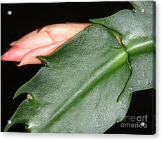 Holiday Cactus - Budding Acrylic Print by Lucyna A M Green