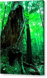 Hollow Maple Tree Acrylic Print by Thomas R Fletcher