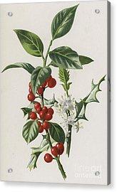 Holly Acrylic Print by Frederick Edward Hulme