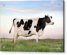 Holstein Dairy Cow Acrylic Print by Cindy Singleton