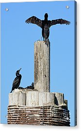 Home Sweet Home Brandt's Cormorant Style Acrylic Print