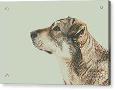 Homeless Dog Looking Up Portrait Acrylic Print by Radu Bercan