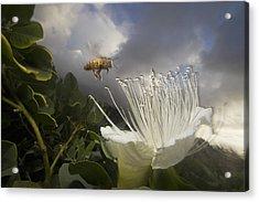 Honey Bee Apis Mellifera Approaching Acrylic Print by Mark Moffett