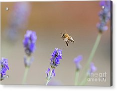 Acrylic Print featuring the photograph Honey Bee - Apis Mellifera - Flying Through Lavender In Flower by Paul Farnfield