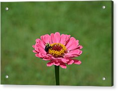 Honey Bee At Work Acrylic Print by Linda Geiger