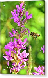 Honey Bee In Flight Acrylic Print
