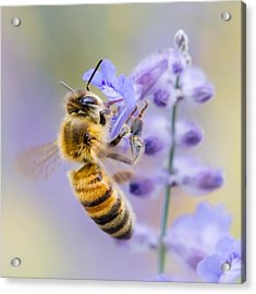 Honey Bee Acrylic Print by Jim Hughes
