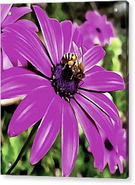 Honey Bee On A Spring Flower Acrylic Print