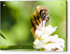 Honey Bee On Clover Flower Acrylic Print by Jorgo Photography - Wall Art Gallery