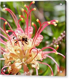 Honey Bee On Grevillea  Acrylic Print