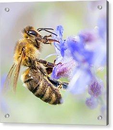 Honey Bee On Russian Sage Acrylic Print by Jim Hughes