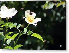 Honey Bees In Flight Over White Rose Acrylic Print