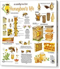 Honey Bees Infographic Acrylic Print by Gina Dsgn