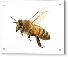 Honey Bound Acrylic Print
