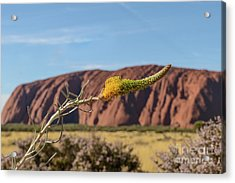 Acrylic Print featuring the photograph Honey Grevillea 01 by Werner Padarin