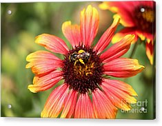 Honeybee On Blanket Flower Acrylic Print