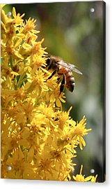 Honeybee On Showy Goldenrod Acrylic Print