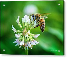 Honeybee On White Clover..... Acrylic Print