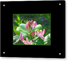 Honeysuckle Pink Photograph Acrylic Print by Gretchen Wrede