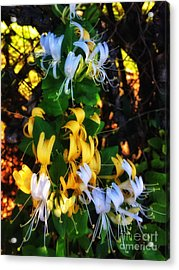 Honeysuckle Sweet Acrylic Print