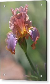 Honky Tonk Rumble. The Beauty Of Irises Acrylic Print by Jenny Rainbow
