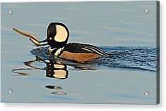 Acrylic Print featuring the photograph Hooded Merganser And Eel by William Jobes