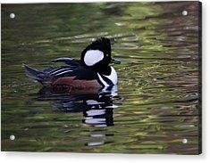 Hooded Merganser Duck Acrylic Print
