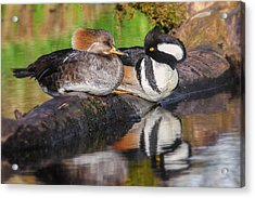 Hooded Merganser Pair Acrylic Print