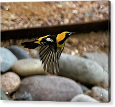 Acrylic Print featuring the photograph Hooded Oriole H37 by Mark Myhaver