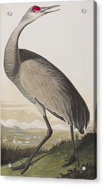 Hooping Crane Acrylic Print by John James Audubon