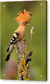 Hoopoe With Lizard Acrylic Print by Andres Miguel Dominguez