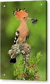 Hoopoe With Spider Acrylic Print by Andres Miguel Dominguez