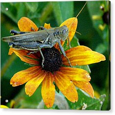 Acrylic Print featuring the photograph Hopper On Black Susan Flower by Jeanette Oberholtzer