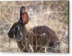 Hopping Brown Bunny Acrylic Print