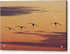 Horicon Marsh Cranes #4 Acrylic Print