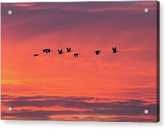Horicon Marsh Geese Acrylic Print