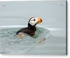 Acrylic Print featuring the photograph Horned Puffin by Phil Stone