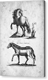 Horse 02 Historiae Naturalis 1657 Acrylic Print by Aged Pixel