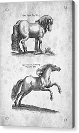 Horse 03 Historiae Naturalis 1657 Acrylic Print by Aged Pixel