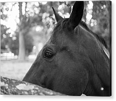 Horse At Fence Acrylic Print