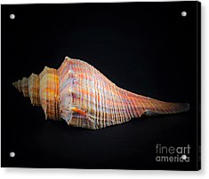 Horse Conch Acrylic Print by Ray Shrewsberry