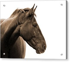 Horse Head Study Acrylic Print by Heather Swan
