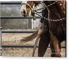 Horse In Hackamore Acrylic Print