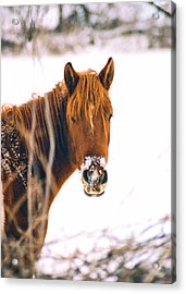 Horse In Winter Acrylic Print