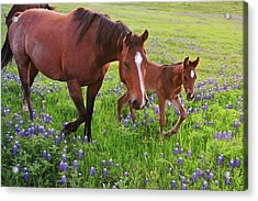 Horse On Bluebonnet Trail Acrylic Print by David Hensley