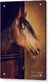 Horse Portrait Acrylic Print by Carlos Caetano