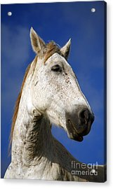 Horse Portrait Acrylic Print by Gaspar Avila