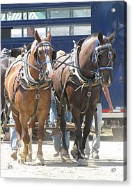 Horse Pull J Acrylic Print by Melissa Parks